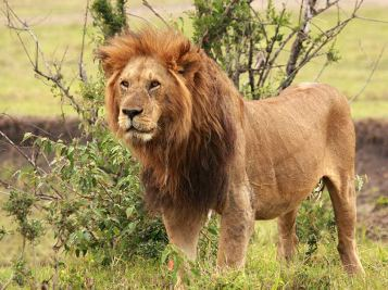 proteger-lion-roi-animaux